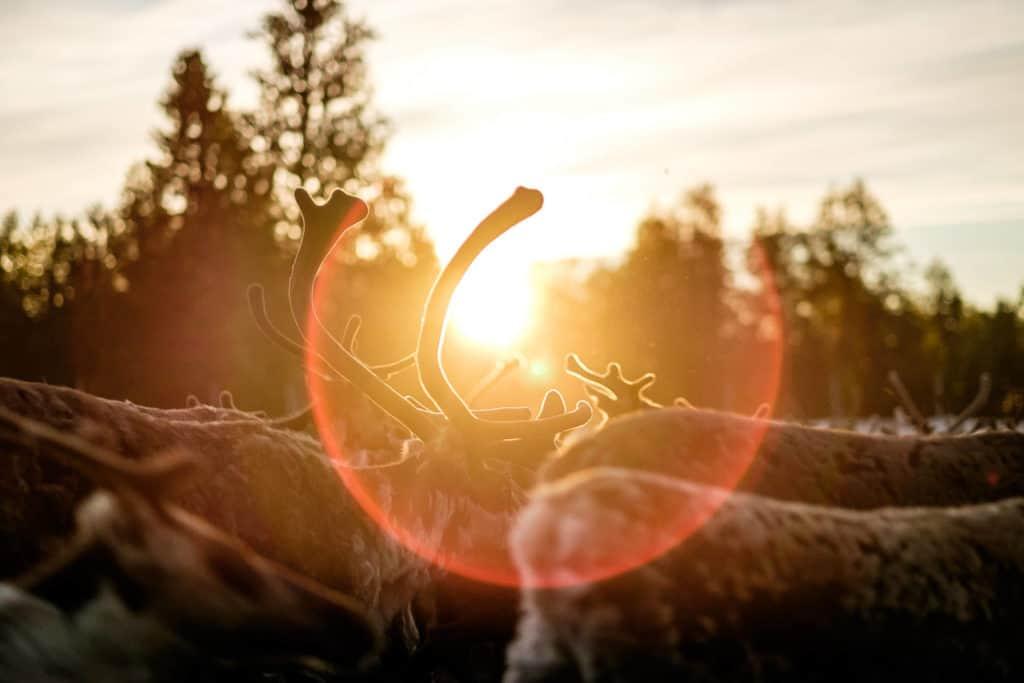 Kalvmärkning. Renar i soluppgången.