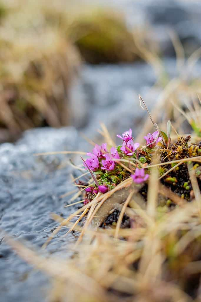Purpurbräcka i fjällbäck, våren till fjälls